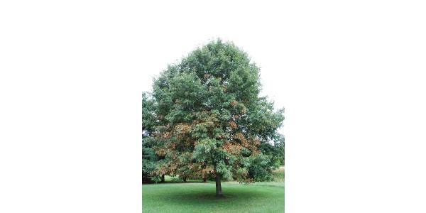 Fig. 1. Bacterial leaf scorch symptoms on oak. (Courtesy of Purdue University)