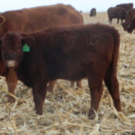 Recent research has examined grazing summer born calves on cornstalks with their dams and compared that to feeding pairs in a dry lot. (Photo Courtesy of Maddux Cattle Company)