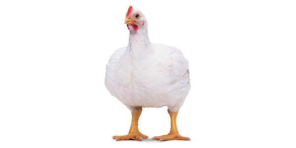 Cornish Rocks and Cornish Crosses are a popular backyard meat bird breed. When paired with the right management, a high-protein complete feed, such as Purina® Meat Bird Feed, can help broiler chickens efficiently reach mature weight in six to ten weeks.