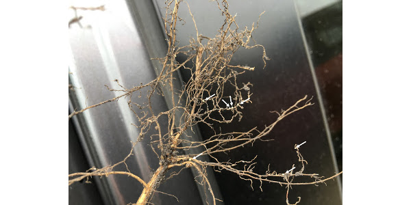 Figure. SCN cysts (white arrow) were easily observed at a UMN Extension soybean plot tour this summer. (Courtesy of University of Minnesota Extension)