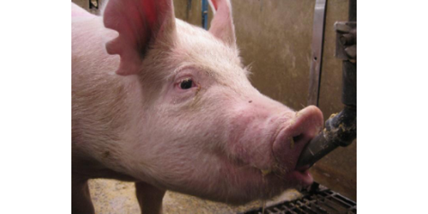 Wisconsin pork farmers are invited to join UW-Extension, the Wisconsin Pork Association, and the UW-Agriculture Colleges (Madison, Platteville, and River Falls) for the Badger Swine Symposium on Friday, November 9, 2018. (Courtesy of UW-Extension)