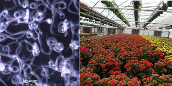 Figure 1. Steinernema feltiae is an entomopathogenic nematode (left) that can be drenched into growing media of ornamental crops in the greenhouse (right) to control western flower thrips and fungus gnats. (Courtesy of MSU Extension)