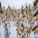 Snow cover on late-maturing soybeans in 2014. (Courtesy of MSU Extension)