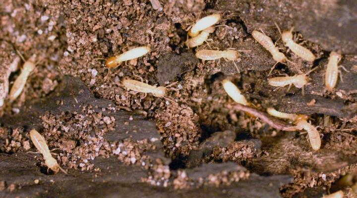 Spray or bait? How to tackle large termite colonies