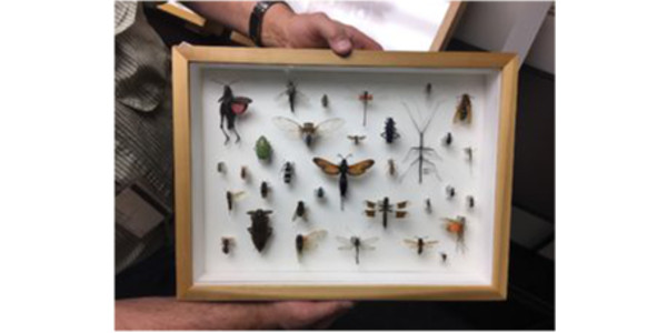 The tarantula wasp, in the middle of the display case. (Courtesy of CSU)