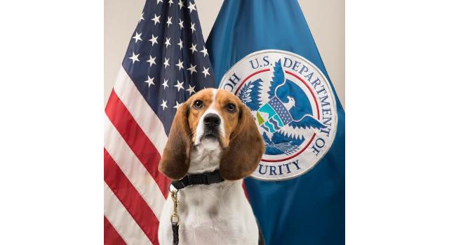 USDA's 'Beagle Brigade' helps protect U.S. swine