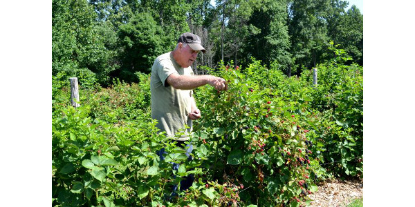 Bennie Winn picks blackberries on his Muhlenberg County farm. Photo by Katie Pratt, UK agricultural communications. (Courtesy of University of Kentucky)