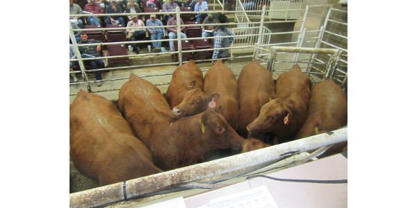 A nice set of Show-Me-Select Heifers. The next SMS sale at Joplin Regional is November 16. (Photo credit: MU Extension)