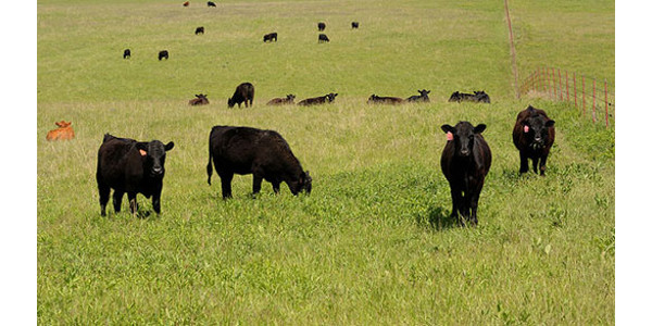 Great Plains Grazing will host a webinar on Wed., Oct. 17 on the environmental impact of beef cattle production. (Courtesy of K-State Research and Extension)