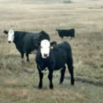 Fall is the time for cattle producers to make herd management decisions. (NDSU photo)