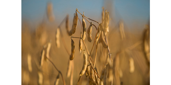Soybeans need to be aerated to keep them cool once they are harvested and in storage. (NDSU photo)