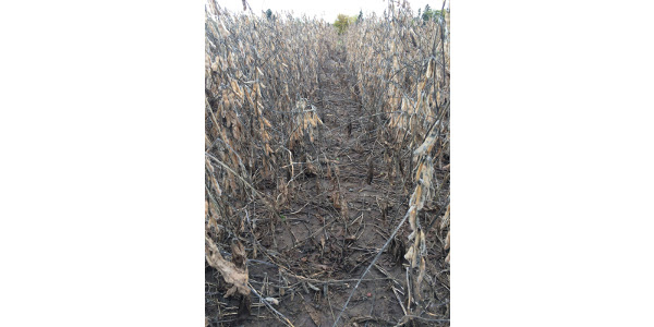 With continued cold, cloudy, and rainy conditions across Minnesota, farmers are beginning to question when they will be able to get into the field to harvest their soybeans. (Courtesy of University of Minnesota Extension)