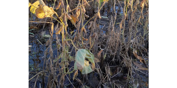 Low quality soybeans may trigger crop insurance