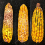 Symptoms of ear rots found in Michigan corn this season. Gibberella ear rot (left), Diplodia ear rot (middle) and Trichoderma ear rot (right). (All photos by Katlin Blaine, MSU)