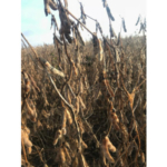 Fall 2018's cool, damp weather has put the brakes on many acres of soybean harvest this year. (Courtesy of iGrow.org)
