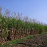 Sugarcane. (Courtesy of University of Illinois)