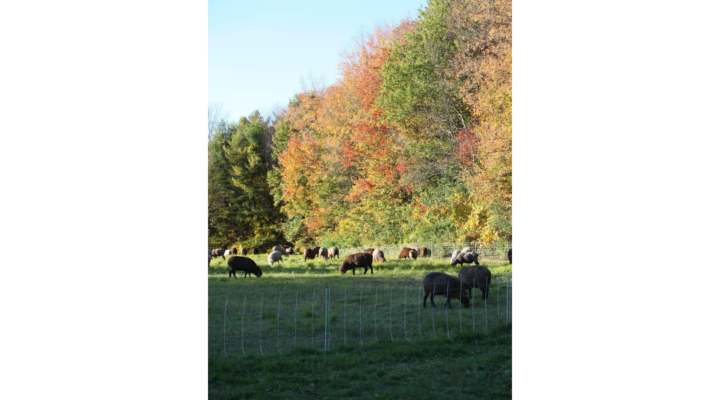 Extended Grazing for Sheep & Goats