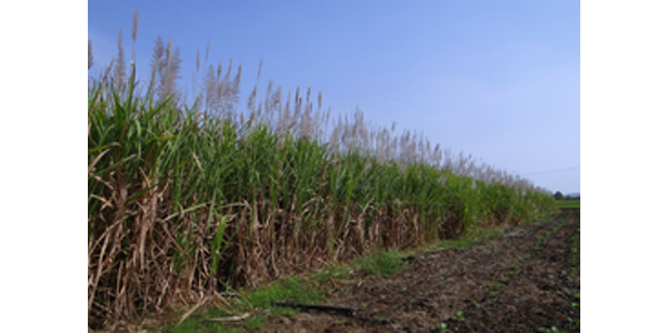 Sugarcane. (Courtesy of University of Illinois)