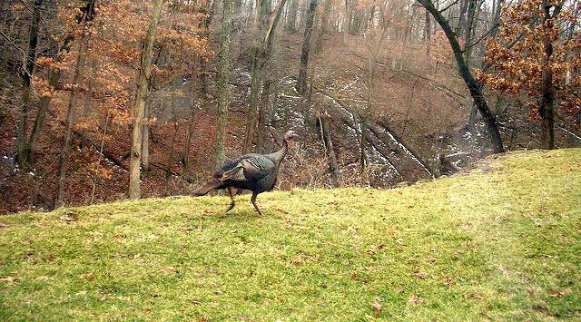 Farmer ends effort to breed endangered turkey