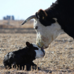 K-State Research and Extension will host seven calving schools aimed at increasing knowledge and practical skills, as well as the number of live calves born. (Courtesy of K-State Research and Extension)