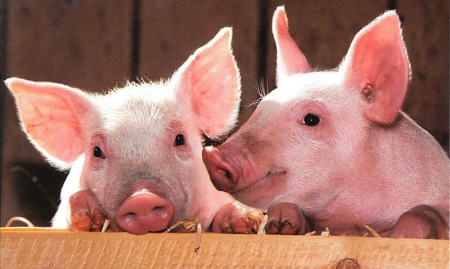 Japan detects another hog cholera infection