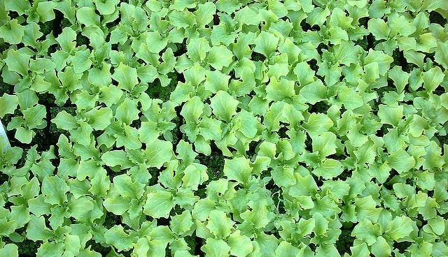 AZ greens industry ready for a safe harvest season