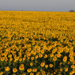 Kansas farmers are increasingly interested in growing winter canola as an alternative to more traditional crops such as wheat and corn. (Courtesy of K-State Research and Extension)