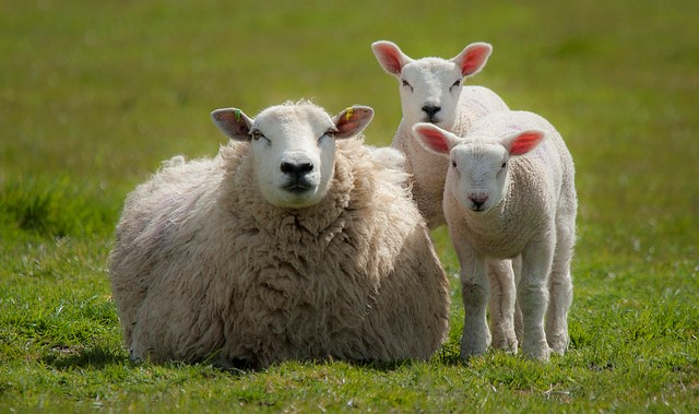 Feeding Pregnant & Lactating Does and Ewes