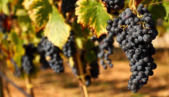 Winegrape growers focus on wildfire research