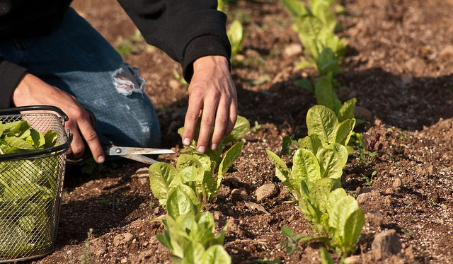 Calif. farm issues recall for harvested vegetables