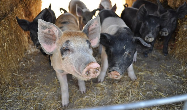 Iowa to host 1st Midwest Organic Pork Conference