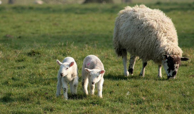 Struggling farm school revived by lamb products