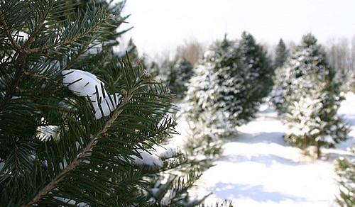 Millennials saving the Christmas tree industry?