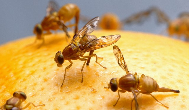 Mexican fruit fly quarantine in Los Angeles Co.