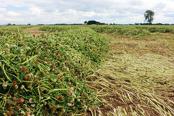 3 ways clovers can boost your forage system