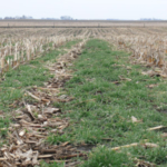 Cover crop growth in harvested cornfield. (Courtesy of Iowa State University Extension and Outreach)