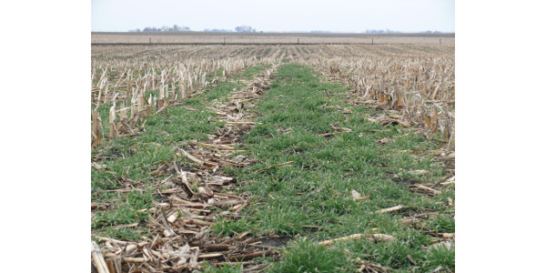 Iowa Beef Center will host 6 cover crop tours