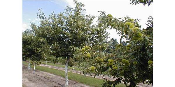 Preparing chestnut orchards for winter