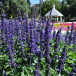 Salvia 'Big Blue' from PanAmerican Seed. (Courtesy of Colorado State University)