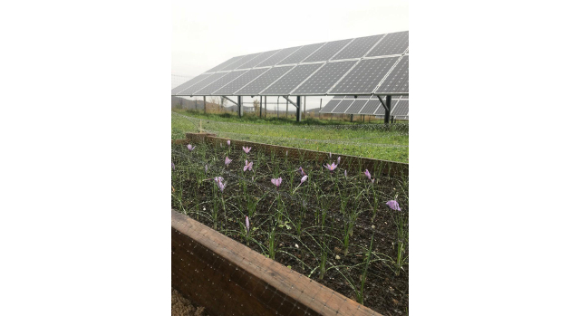 Saffron and solar farms: A win/win