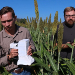 Neal Carpenter (left), a postdoctoral research assistant in Purdue University's Department of Agronomy walks through fields of corn and sorghum preparing to use a handheld sensor developed at Purdue to measure the health of a plant. Matthew Fenton uses a smartphone to collect the data. Jian Jin, an assistant professor in Purdue's Department of Agricultural and Biological Engineering, hopes his hyperspectral-imaging device will be used widely by plant scientists and farmers nationally and internationally. (Purdue Research Foundation image/Oren Darling)
