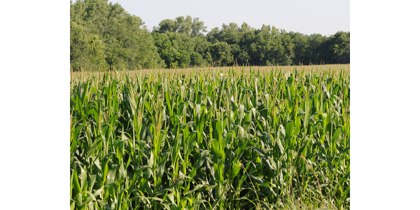 A study of 35 years of corn yields and climatic data in eight states indicates that technologies such as genetic engineering may help offset the effects of climate change. (Courtesy of K-State Research and Extension)
