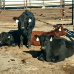 NDSU Extension is offering beef quality assurance certification sessions at three locations in December. (NDSU photo)