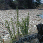 A toxic algae bloom led to more than 5 million fish killed at Lake Granby in Texas in 2003. Purdue University's Jennifer Wisecaver's work will identify the genetic mechanisms associated with toxicity to better predict these deadly events. (Photo courtesy Gary Turner/Brazos River Authority)