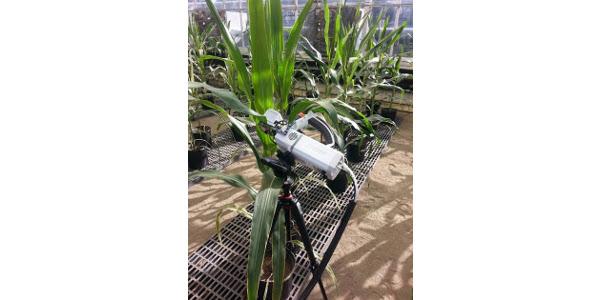 Breeding corn for water-use efficiency