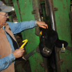 Mount Vernon beef producer Steve Jones removed old tags and tagged steers with a number to help feedlot operators track each calf's progress. He also brought two cattle of his own for the feedout. (Photo by Linda Geist)