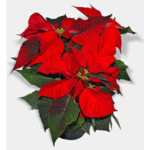 With a little care, poinsettias will provide color and beauty through the holiday season. (Courtesy of K-State Research and Extension)