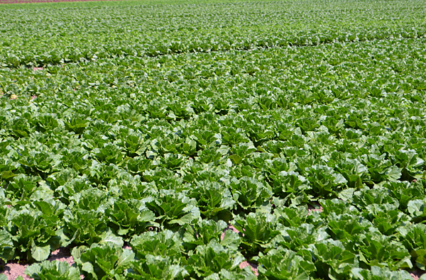 NJDA: Romaine lettuce grown in state is safe