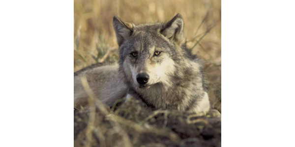 This important legislation would require the U.S. Fish and Wildlife Service to de-list populations of gray wolves in specific areas including the Western Great Lakes and Wyoming. (Colorado Farm Bureau)