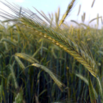 Rye has not traditionally been used as an ingredient in pig diets in the United States, but researchers from the University of Illinois are now investigating the digestibility of nutrients in the grain. (Courtesy of University of Illinois)